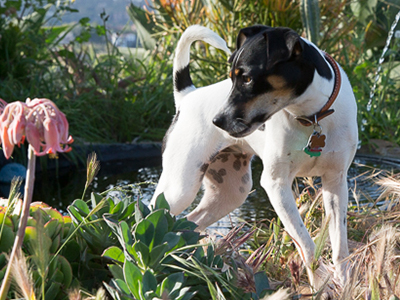 """Ruby</br> <p style=""""font-size:70%;"""">Jack Russell Mascot</p>"""